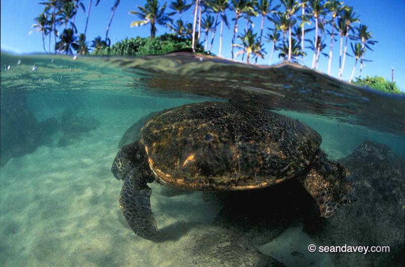 Haleiwa Beach Park Turtles